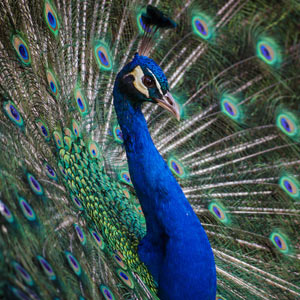 Peacock Feather Wedding Ideas Invitations Centerpieces Bouquets