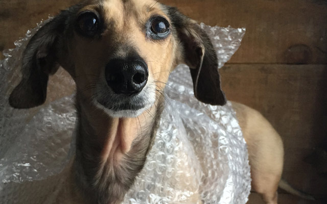 Pickle Dog Design dog in bubble wrap
